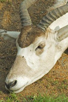 Free Antelope Stock Images - 8240554