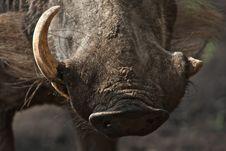 Free Warthog Tusk Stock Images - 8240704
