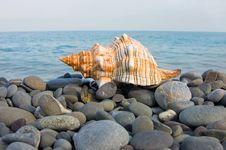Free Sea Shell Royalty Free Stock Photography - 8240807