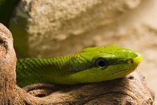 Free Red Tailed Racer Royalty Free Stock Photography - 8242547