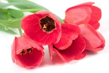 Free Red Tulips Stock Images - 8243004