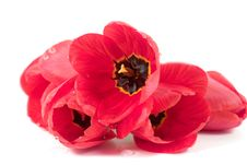 Free Red Tulips Stock Image - 8243071