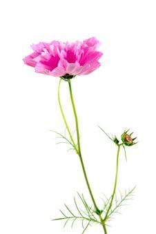 Free Pink Flower Stock Photo - 8243470