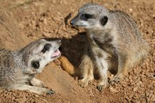 Two Meerkats Frolicking Royalty Free Stock Images
