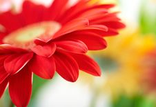 Free Red Daisy-gerbera Stock Images - 8246164