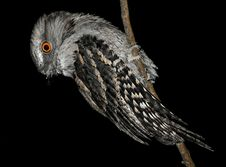 Free Tawny Frogmouth Royalty Free Stock Images - 8247849