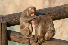 Two Young Monkeys Stock Photo