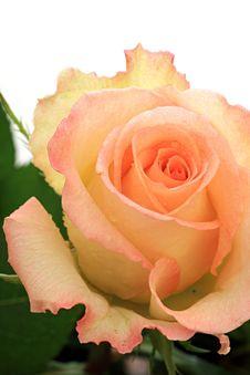 Free Rose. Royalty Free Stock Image - 8248576