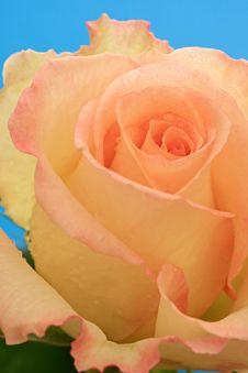 Free Rose. Stock Photos - 8248623