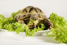 Free Tortoise Stock Photography - 8248932