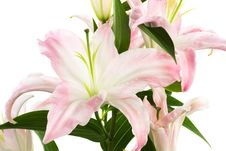 Free Pink Lily Royalty Free Stock Images - 8248969