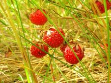 Free Wild Strawberry Stock Photo - 8249330