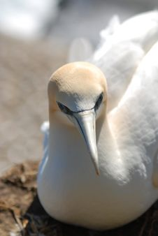 Free Gannet Stock Photos - 8249993