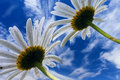 Free Camomile Flowers On Background Of Blue Sky Royalty Free Stock Photo - 8251555