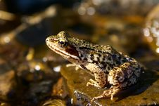Free Brown Frog In A Brook Stock Photos - 8251563