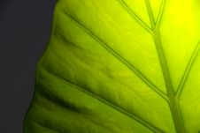 Free Green Leaf Detail Royalty Free Stock Photography - 8252187