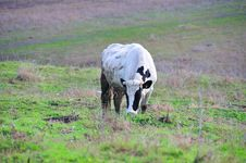 Free Grazing Cow Royalty Free Stock Photo - 8252255