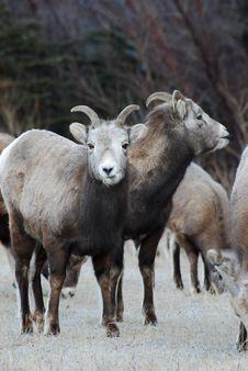 Free Moutain Sheep Royalty Free Stock Photo - 8252865