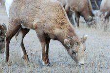 Free Moutain Sheep Stock Photo - 8252950