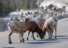 Free Moutain Sheep Herd Stock Photo - 8253090