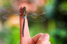 Dragonfly Stay On Index Finger Stock Photo