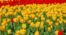 Free Yellow And Red Tulips Royalty Free Stock Photos - 8254308