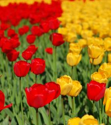 Free Yellow And Red Tulips Stock Photography - 8254322