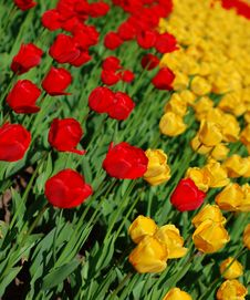 Free Yellow And Red Tulips Royalty Free Stock Photos - 8254328