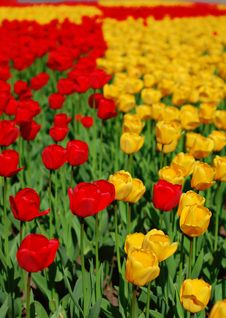 Free Yellow And Red Tulips Royalty Free Stock Images - 8254339