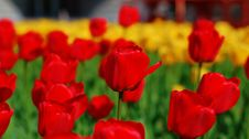 Free Yellow And Red Tulips Royalty Free Stock Image - 8254346