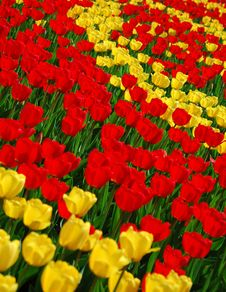 Free Yellow And Red Tulips Royalty Free Stock Photo - 8254355