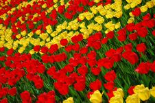 Free Yellow And Red Tulips Royalty Free Stock Photography - 8254367
