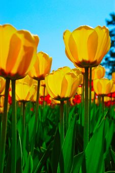Free Yellow Tulips Royalty Free Stock Photography - 8254377