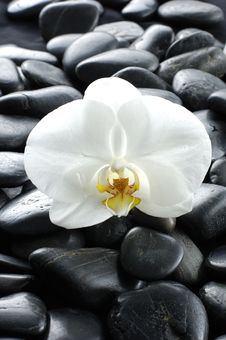 Free Orchid Royalty Free Stock Image - 8254886
