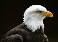 Free Bald Eagle Royalty Free Stock Photos - 8255378