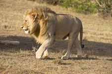 Free Annoyed Lion Royalty Free Stock Photos - 8255798