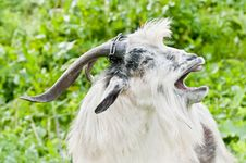 Free Domestic Goat Stock Photos - 8257533