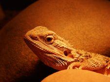 Free Lizard Stock Image - 8259041