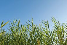 Free Reed Stems On Blue Sky Royalty Free Stock Image - 8259896