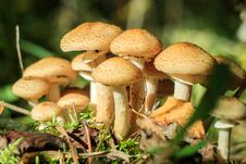Free Mushrooms In The Sun In The Forest Royalty Free Stock Images - 82546089