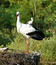 Free Two White Storks Stock Images - 8260454