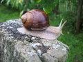 Free Big Edible Grape Snail Royalty Free Stock Photography - 8261927