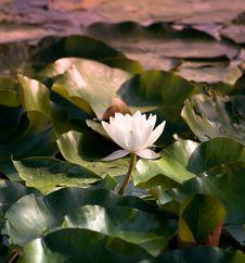 Free White Water Lily Stock Photos - 8260383