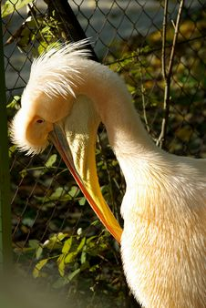 Free Portrait Of The Pelican Stock Images - 8260474