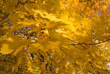 Free Gold Autumn Royalty Free Stock Images - 8260549