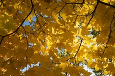 Free Gold Autumn Royalty Free Stock Photos - 8260558