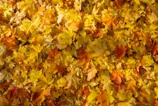 Free Fallen Leaves Royalty Free Stock Images - 8260609