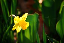 Free Daffodil And Spider S Snare Stock Photography - 8260632