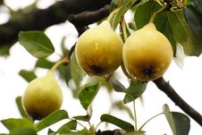 Free Riped Pears On Tree Stock Images - 8260644