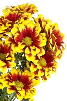 Free Bouquet Of Colorful Chrysanthemum Isolated Royalty Free Stock Photos - 8260658